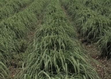 Cymbopogon Nardus Citronella Grass Thai Herbal Products